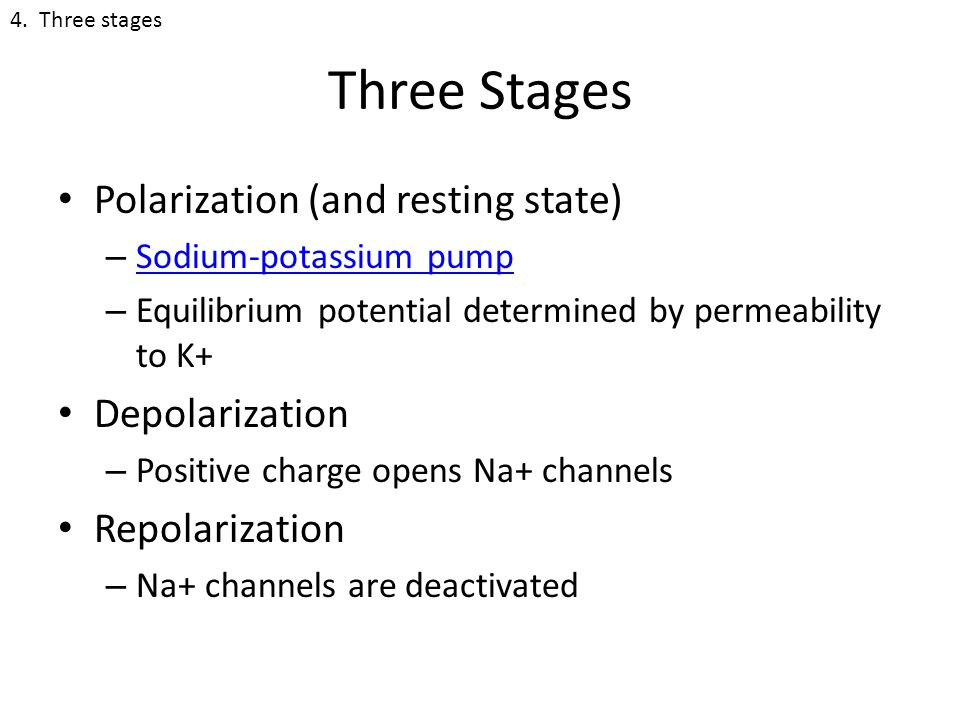 Three Stages Polarization (and resting state) – Sodium-potassium pump Sodium-potassium pump – Equilibrium potential determined by permeability to K+ Depolarization – Positive charge opens Na+ channels Repolarization – Na+ channels are deactivated 4.