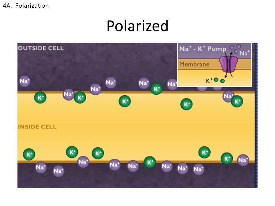 Polarized 4A. Polarization