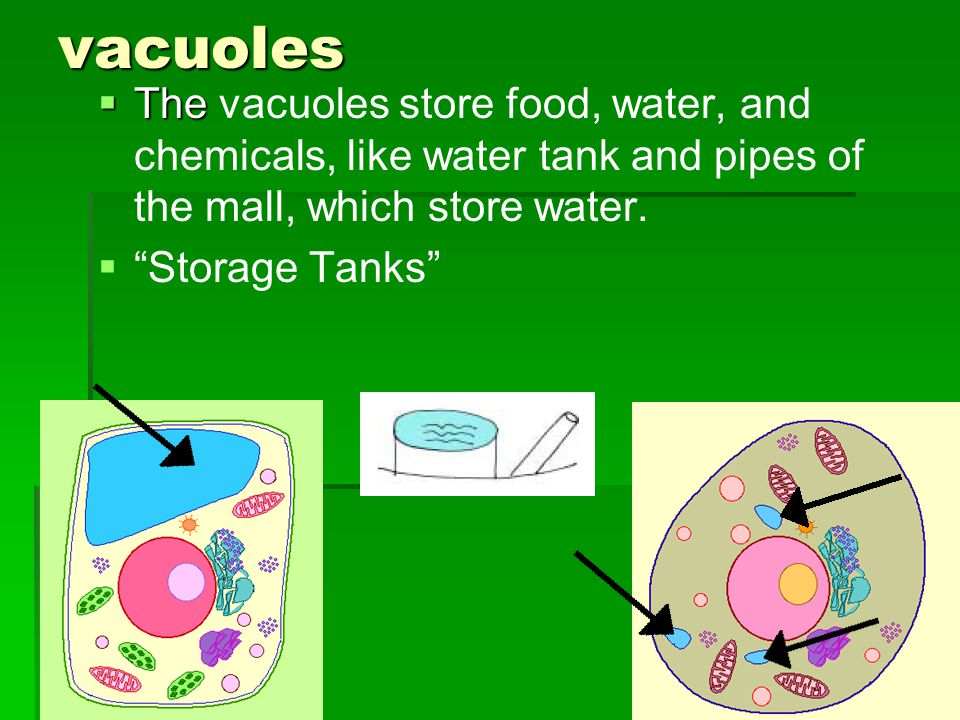 vacuoles The The vacuoles store food, water, and chemicals, like water tank and pipes of the mall, which store water.