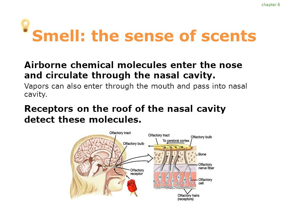 Smell: the sense of scents Airborne chemical molecules enter the nose and circulate through the nasal cavity.