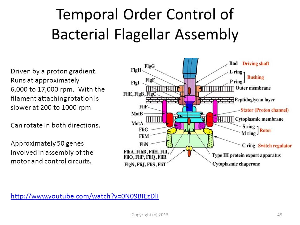 Temporal Order Control of Bacterial Flagellar Assembly Copyright (c) 201348 Driven by a proton gradient.