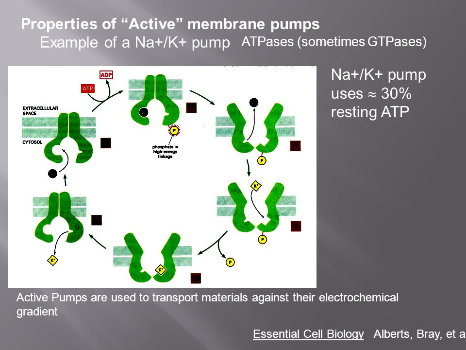 Properties of Active membrane pumps ATPases (sometimes GTPases) Example of a Na+/K+ pump Na+/K+ pump uses 30% resting ATP Active Pumps are used to tra
