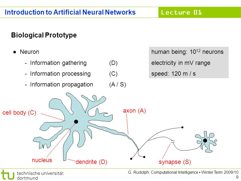 Lecture 01 G. Rudolph: Computational Intelligence Winter Term 2009/10 9 Introduction to Artificial Neural Networks Biological Prototype Neuron - Infor