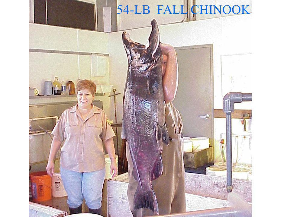 54-LB FALL CHINOOK