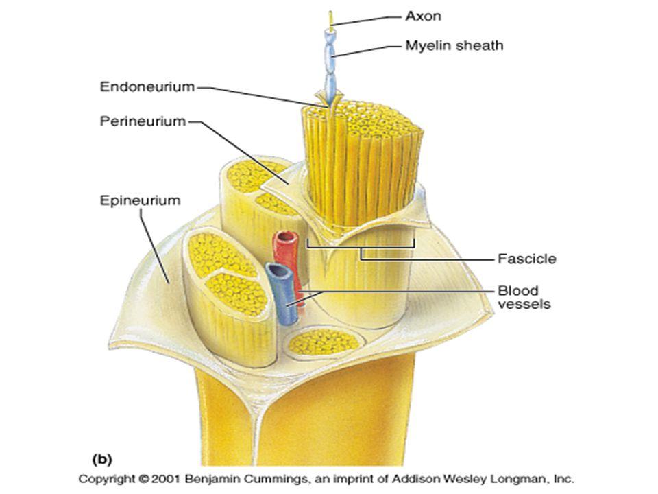 NMJ anatomy Presynaptic –Terminal axon sprout Mitochodria Synaptic vesicles = ACH –Presynaptic membrane Postsynaptic –Motor endplate Single muscle fiber Mitochondria Ribosomes Pinocytotic vesicles Postsynaptic membrane – ACH receptors