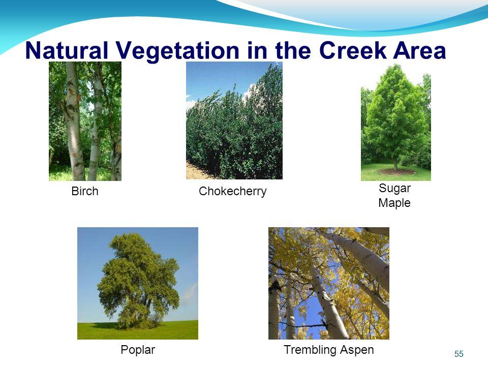 55 BirchChokecherry Poplar Sugar Maple Trembling Aspen Natural Vegetation in the Creek Area