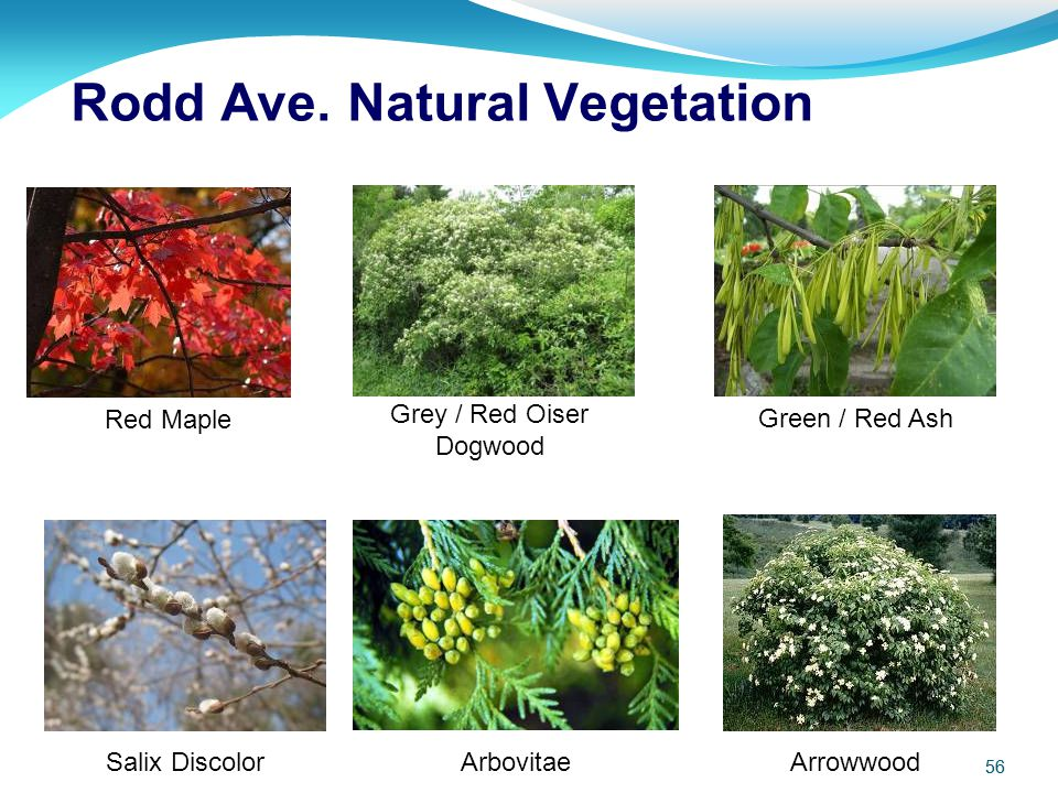 56 Red Maple Grey / Red Oiser Dogwood Salix Discolor Green / Red Ash Arbovitae Arrowwood Rodd Ave. Natural Vegetation