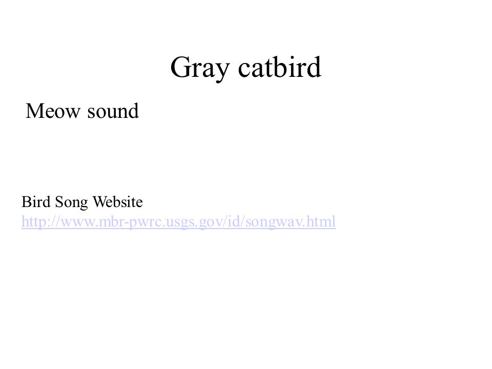 Gray catbird Meow sound Bird Song Website http://www.mbr-pwrc.usgs.gov/id/songwav.html