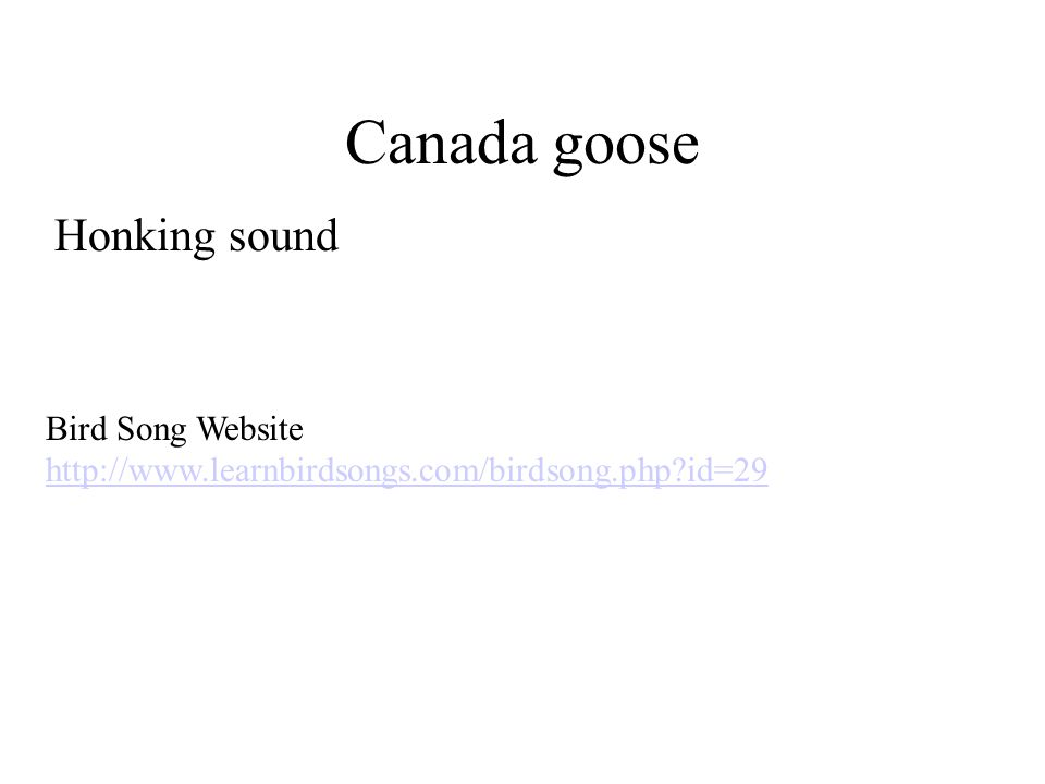 Canada goose Honking sound Bird Song Website http://www.learnbirdsongs.com/birdsong.php?id=29