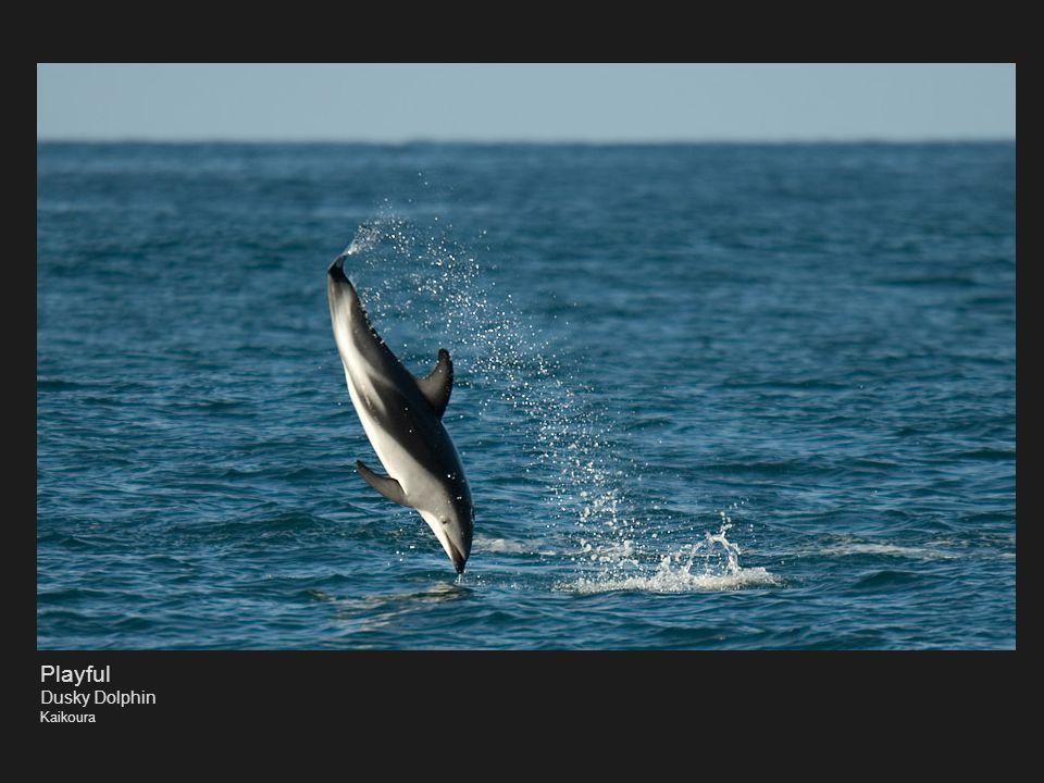 Playful Dusky Dolphin Kaikoura
