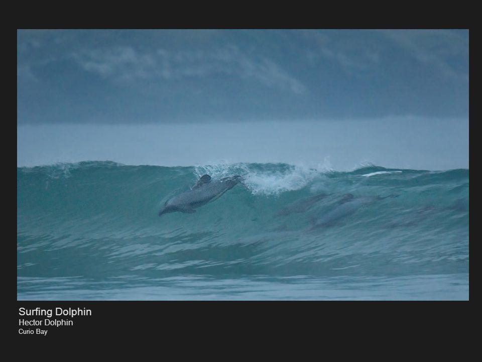 Surfing Dolphin Hector Dolphin Curio Bay