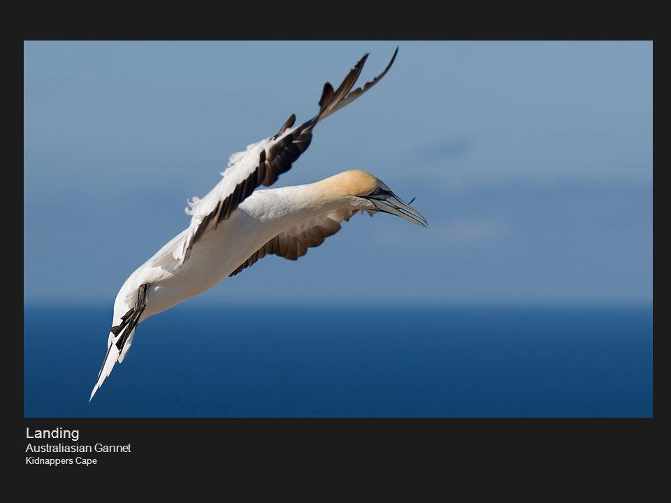 Landing Australiasian Gannet Kidnappers Cape