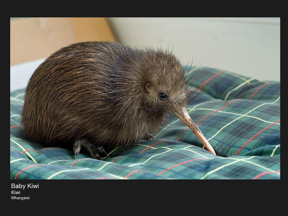 Baby Kiwi Kiwi Whangarei