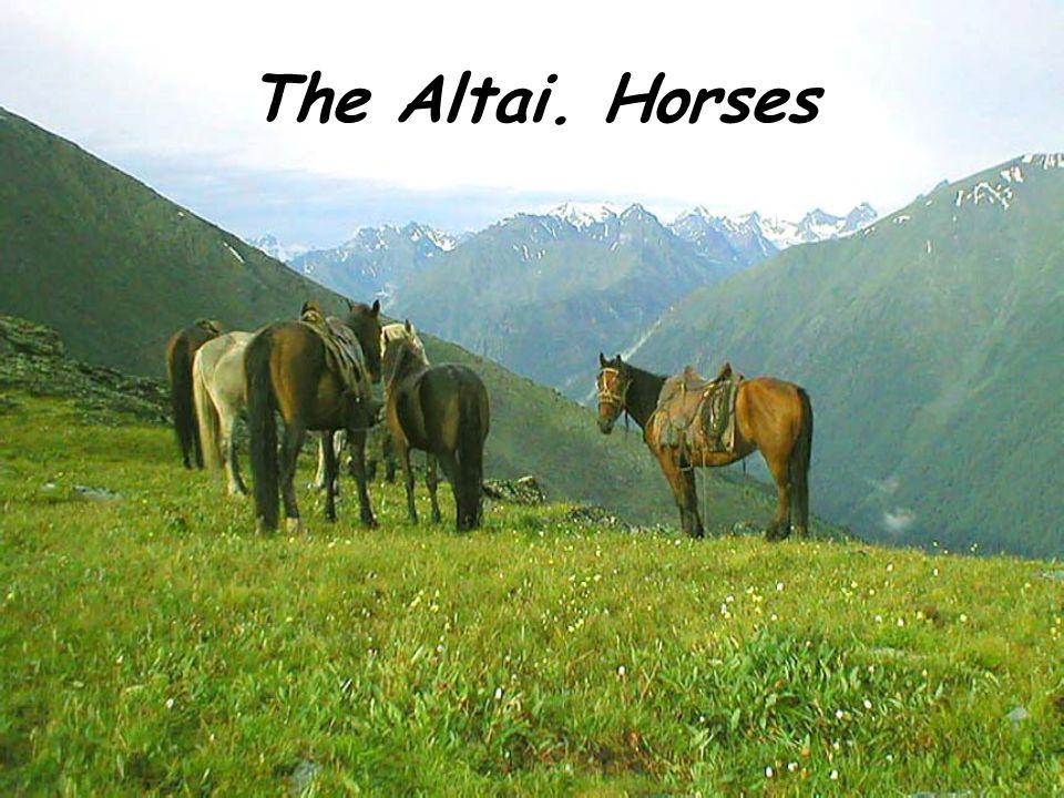 The Altai. Horses