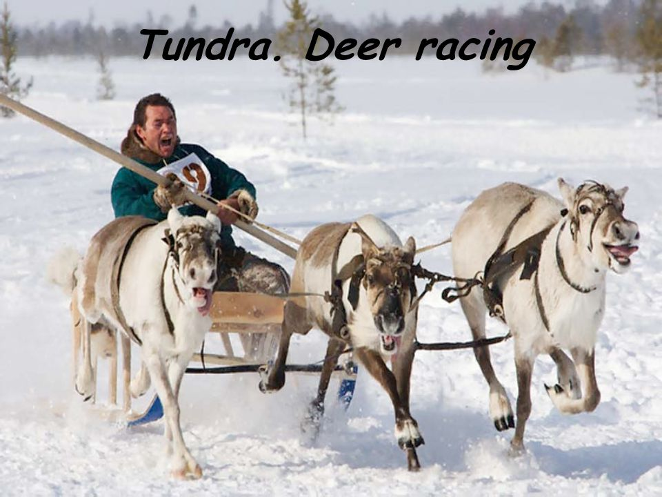 Tundra. Deer racing