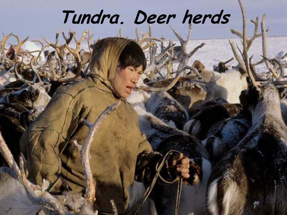 Tundra. Deer herds