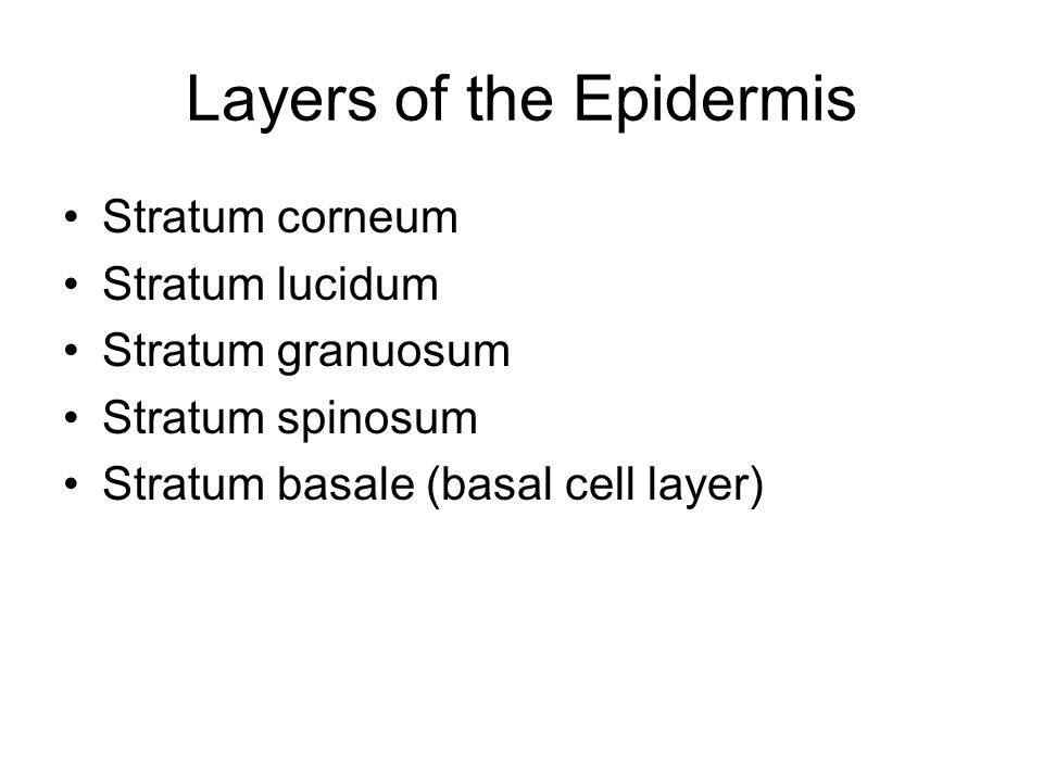 Layers of the Epidermis Stratum corneum Stratum lucidum Stratum granuosum Stratum spinosum Stratum basale (basal cell layer)
