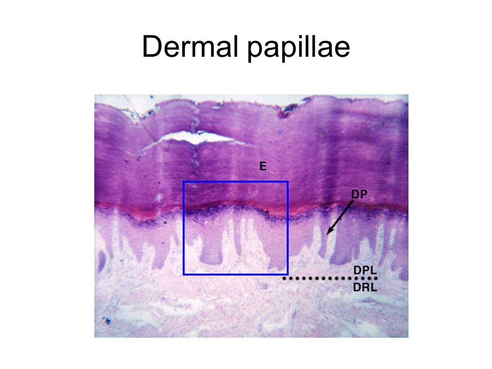 Dermal papillae