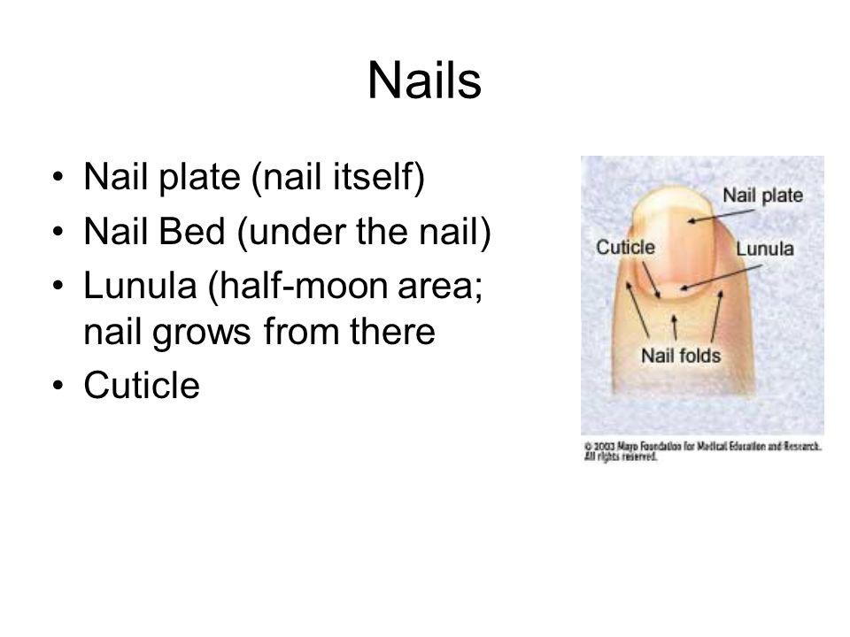 Nails Nail plate (nail itself) Nail Bed (under the nail) Lunula (half-moon area; nail grows from there Cuticle