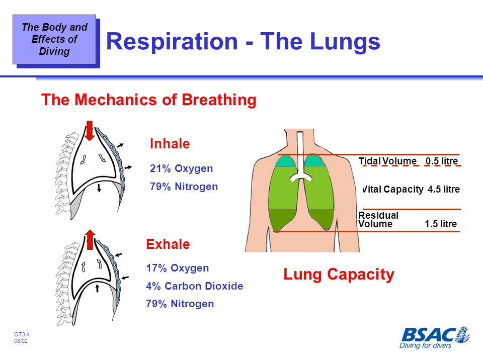The Body and Effects of Diving OT3 4 08/02 Respiration - The Lungs The Mechanics of Breathing Exhale 17% Oxygen 4% Carbon Dioxide 79% Nitrogen Inhale