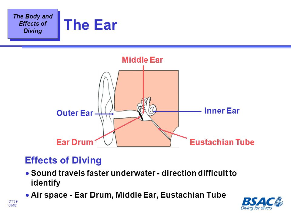 The Body and Effects of Diving OT3 9 08/02 The Ear Effects of Diving !Sound travels faster underwater - direction difficult to identify !Air space - E