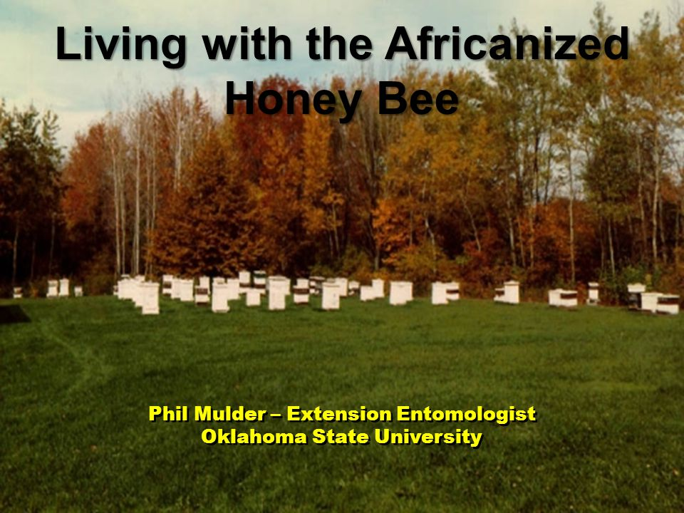 Phil Mulder – Extension Entomologist Oklahoma State University Phil Mulder – Extension Entomologist Oklahoma State University Living with the Africanized Honey Bee