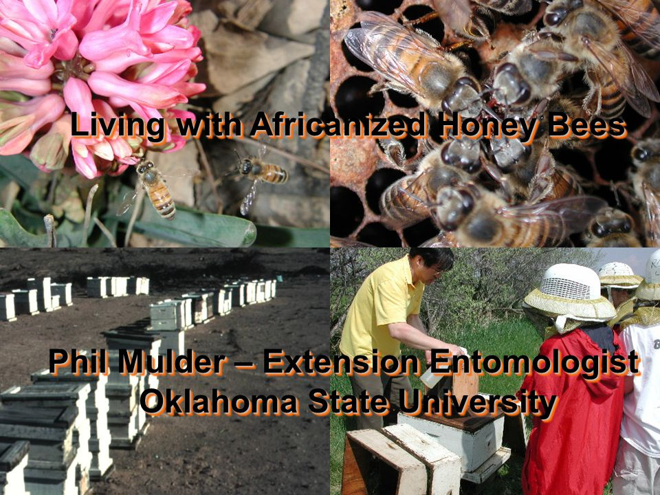 Living with Africanized Honey Bees Phil Mulder – Extension Entomologist Oklahoma State University Living with Africanized Honey Bees Phil Mulder – Extension Entomologist Oklahoma State University
