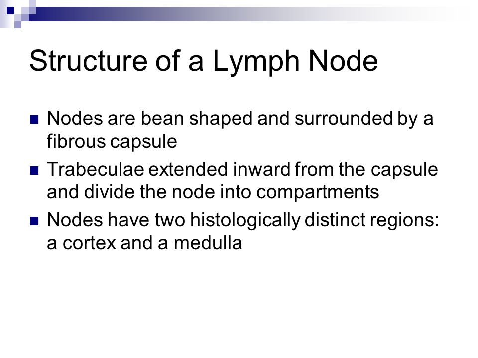 Structure of a Lymph Node Nodes are bean shaped and surrounded by a fibrous capsule Trabeculae extended inward from the capsule and divide the node in
