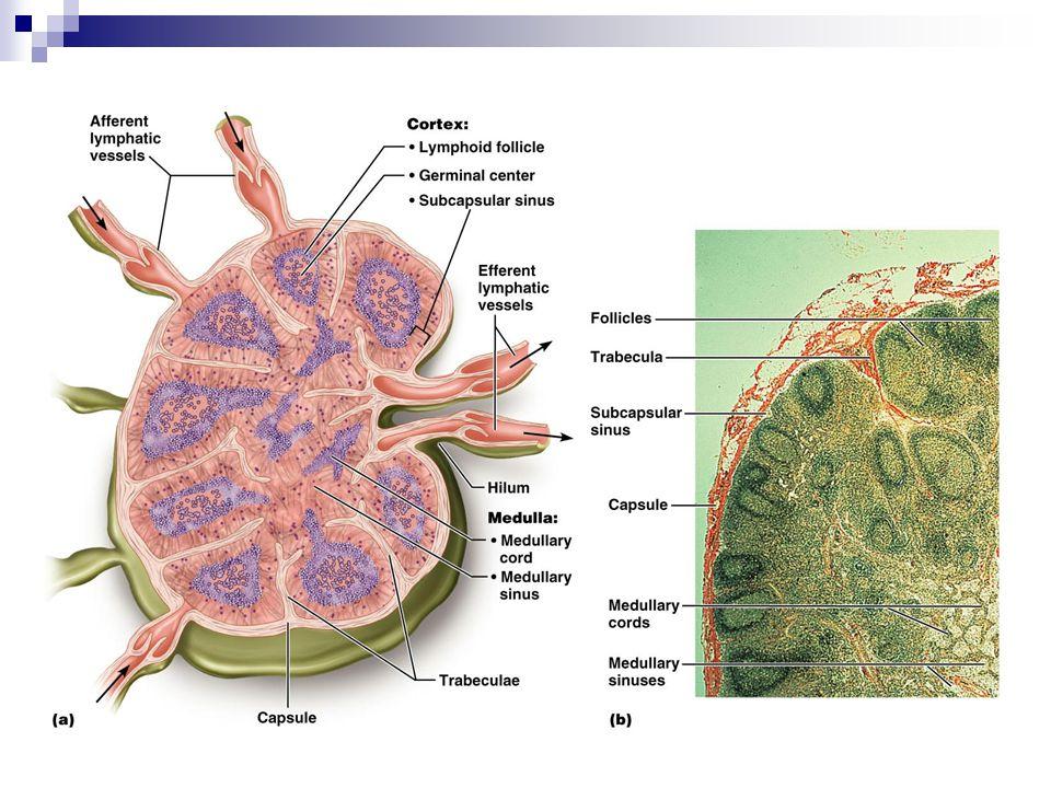 Structure of a Lymph Node
