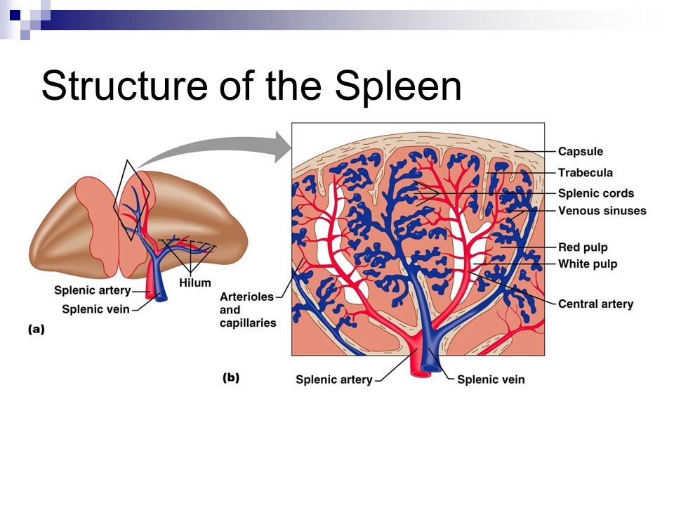 Structure of the Spleen