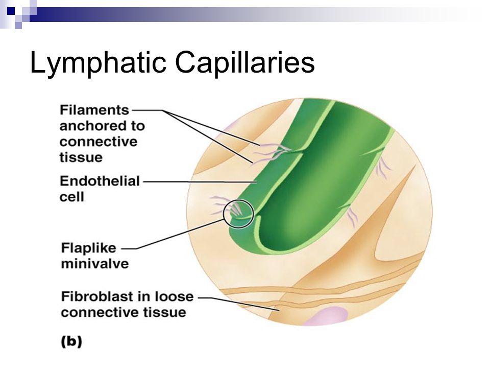 Lymphatic Capillaries