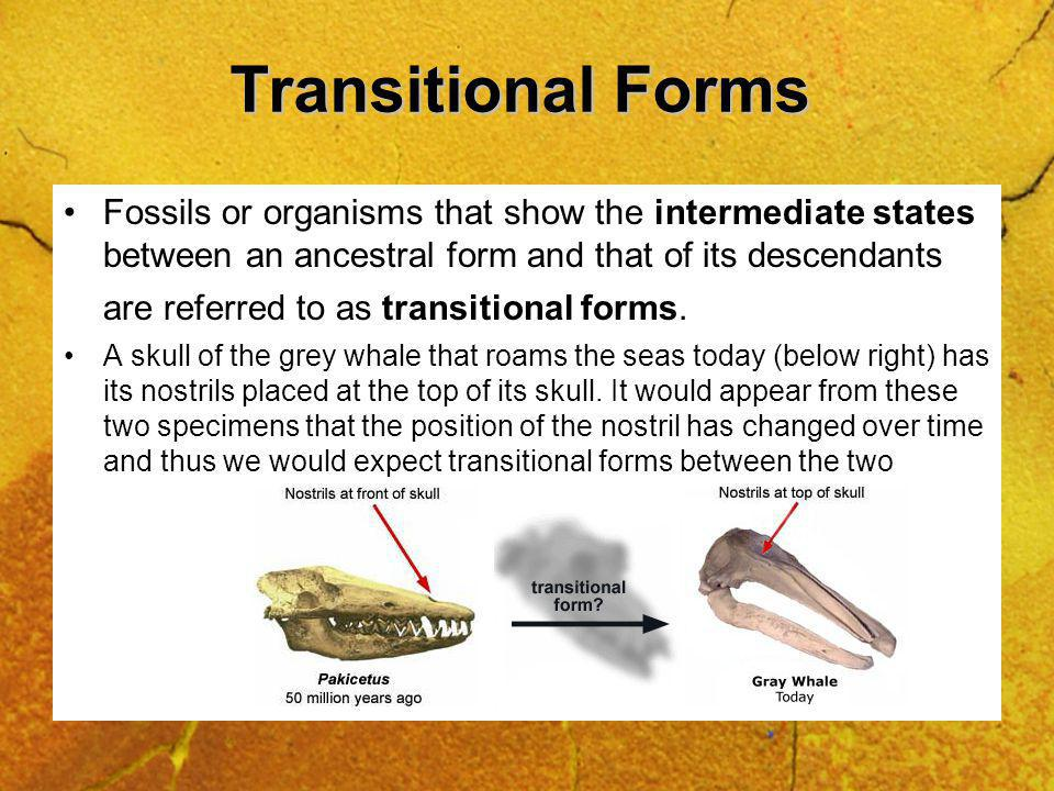 Transitional Forms Fossils or organisms that show the intermediate states between an ancestral form and that of its descendants are referred to as transitional forms.