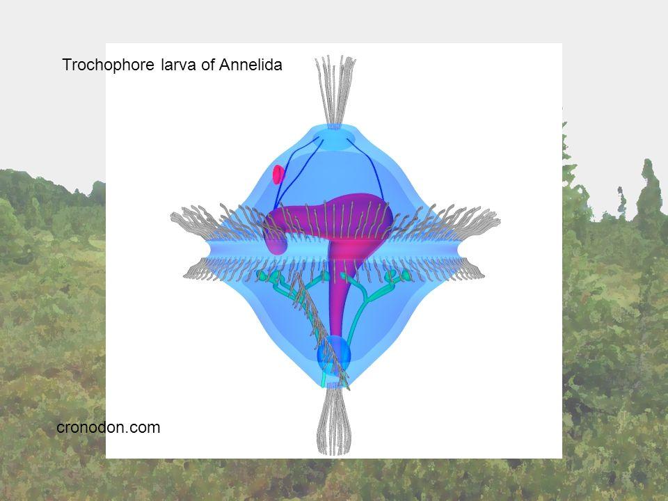 Trochophore larva Annelida Trochophore larva of Annelida cronodon.com