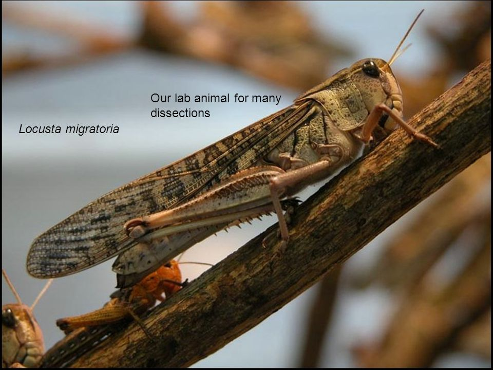 Locusta migratoria Our lab animal for many dissections