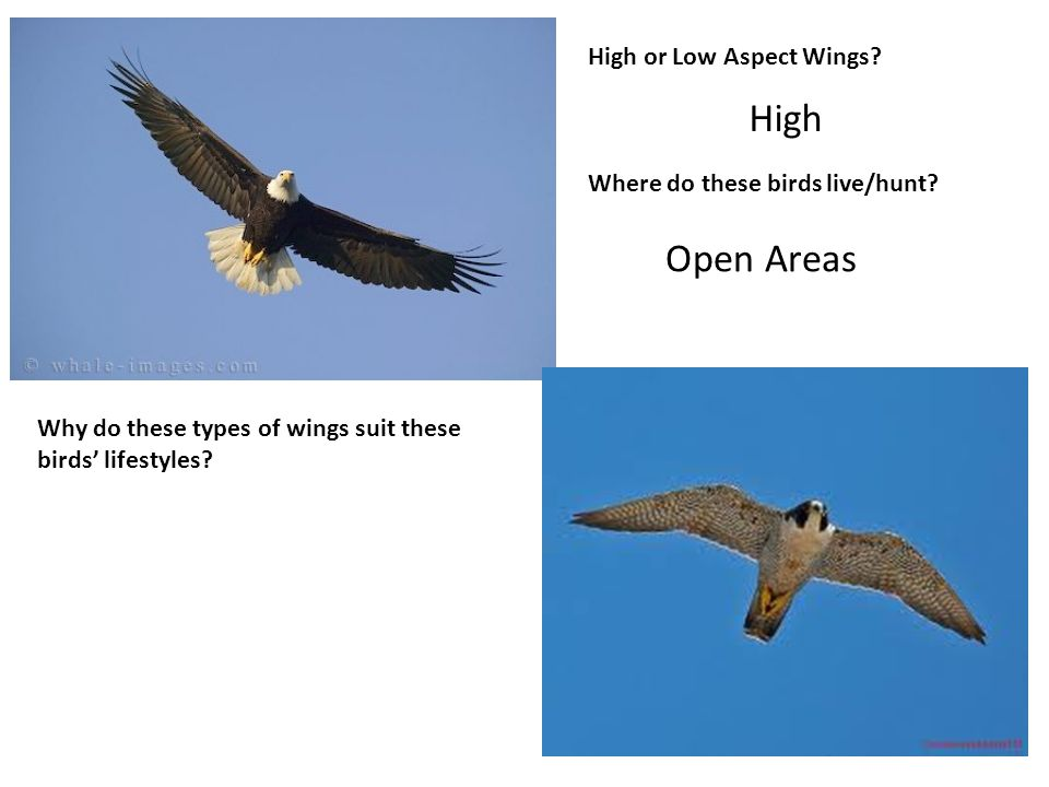 High or Low Aspect Wings. Where do these birds live/hunt.