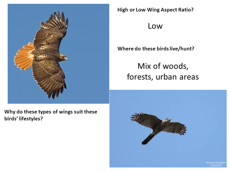 High or Low Wing Aspect Ratio. Where do these birds live/hunt.