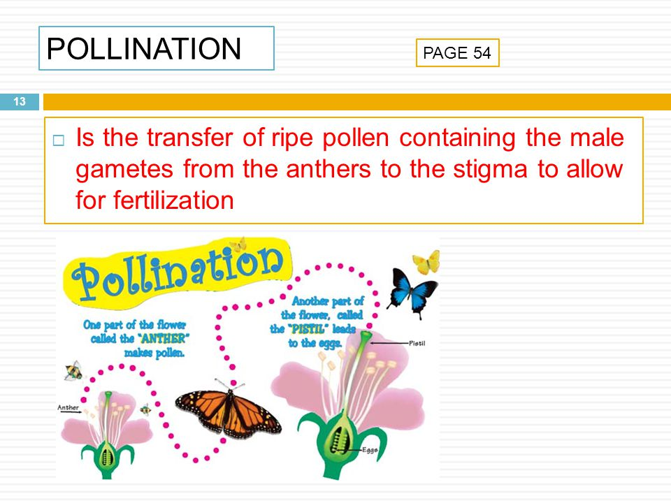 POLLINATION 13 Is the transfer of ripe pollen containing the male gametes from the anthers to the stigma to allow for fertilization PAGE 54
