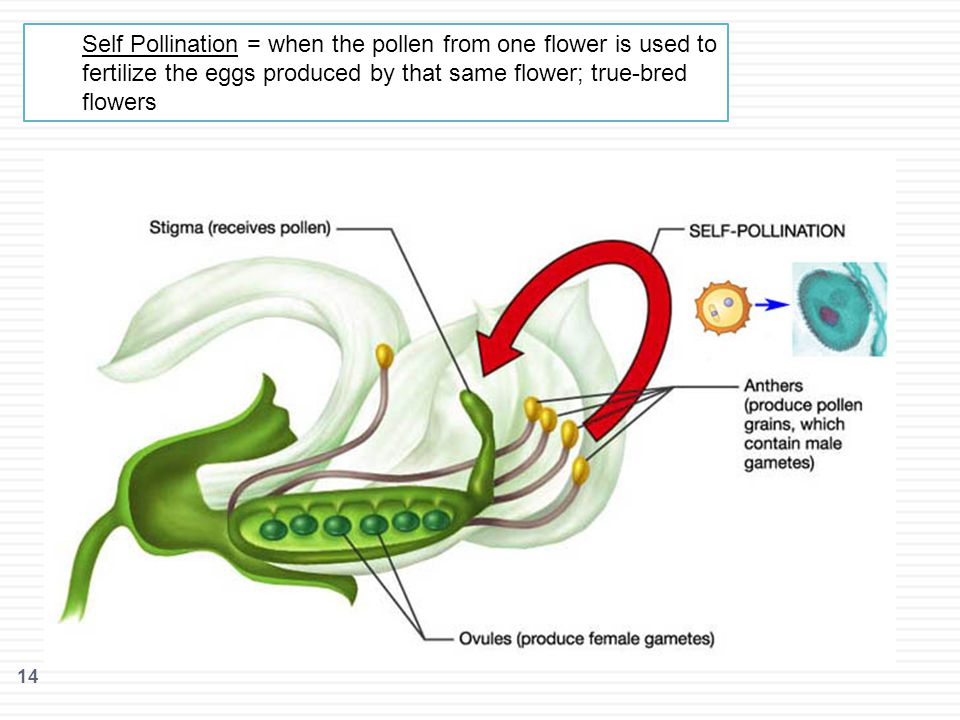 14 Self Pollination = when the pollen from one flower is used to fertilize the eggs produced by that same flower; true-bred flowers