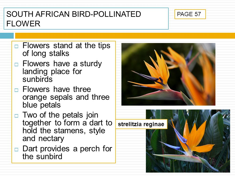 SOUTH AFRICAN BIRD-POLLINATED FLOWER Flowers stand at the tips of long stalks Flowers have a sturdy landing place for sunbirds Flowers have three oran