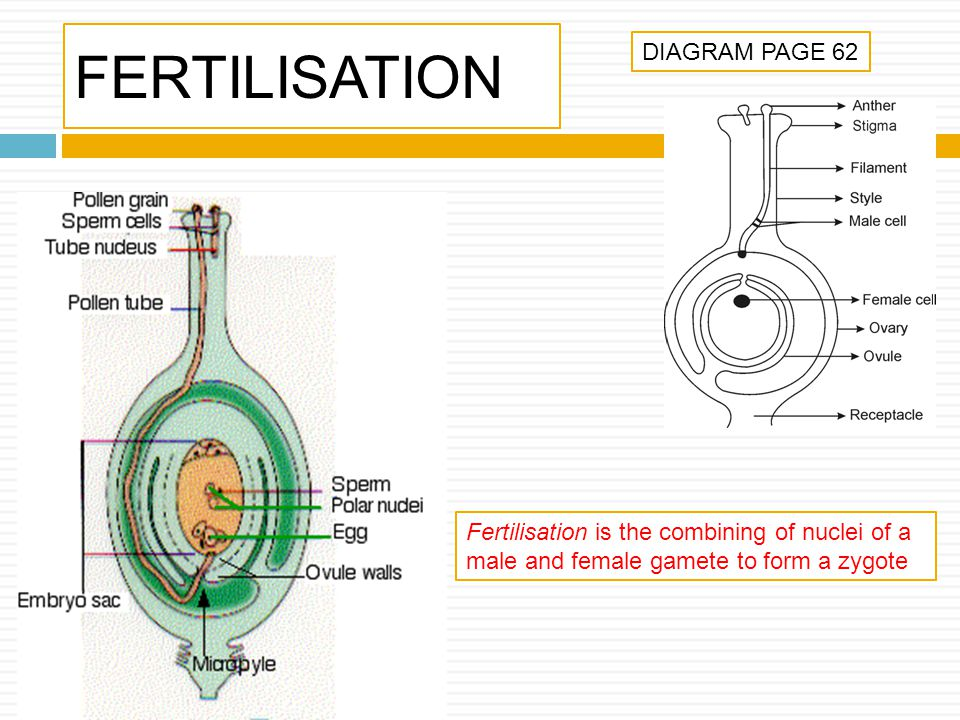 FERTILISATION DIAGRAM PAGE 62 Fertilisation is the combining of nuclei of a male and female gamete to form a zygote