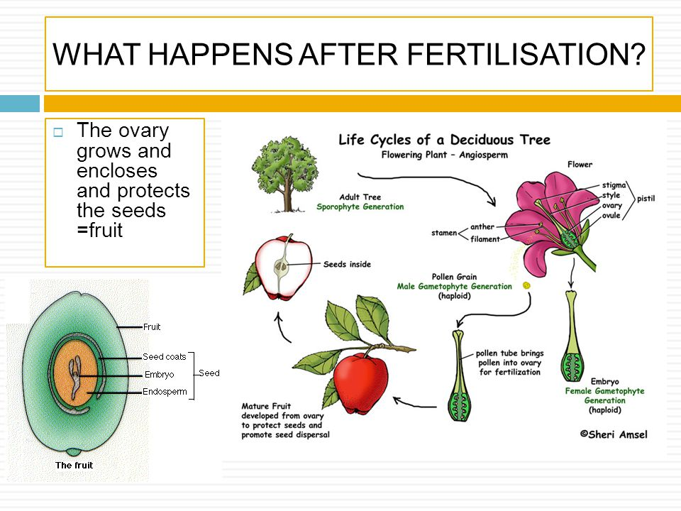 WHAT HAPPENS AFTER FERTILISATION? The ovary grows and encloses and protects the seeds =fruit