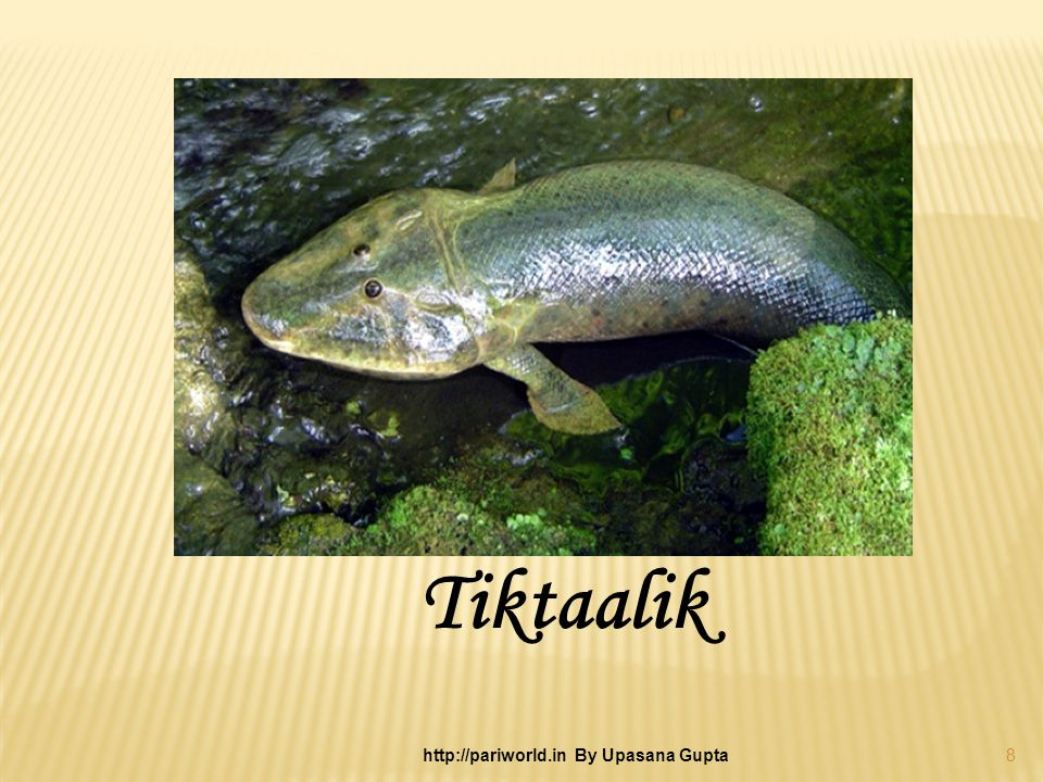 Tiktaalik 8 http://pariworld.in By Upasana Gupta