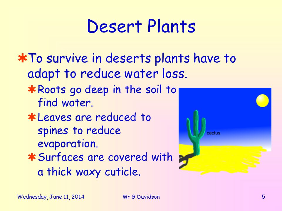 Desert Plants To survive in deserts plants have to adapt to reduce water loss.