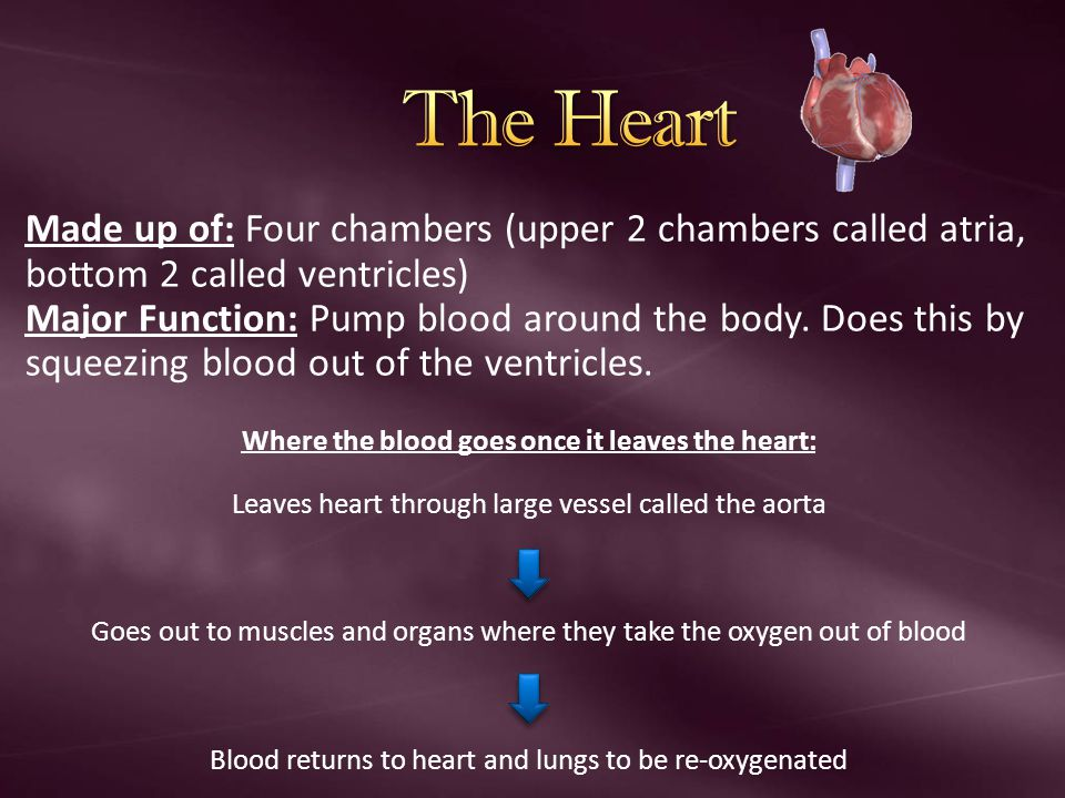 Made up of: Four chambers (upper 2 chambers called atria, bottom 2 called ventricles) Major Function: Pump blood around the body. Does this by squeezi