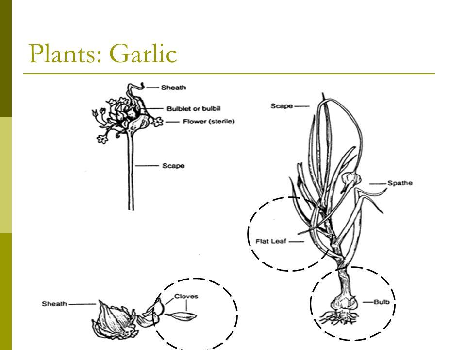 Plants: Garlic