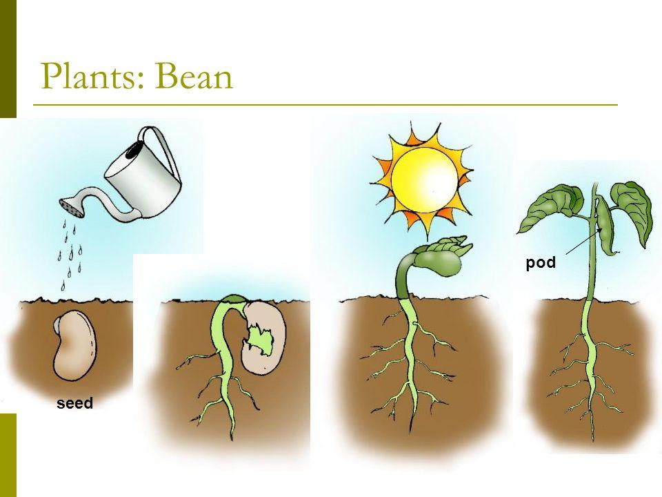 Plants: Bean seed pod