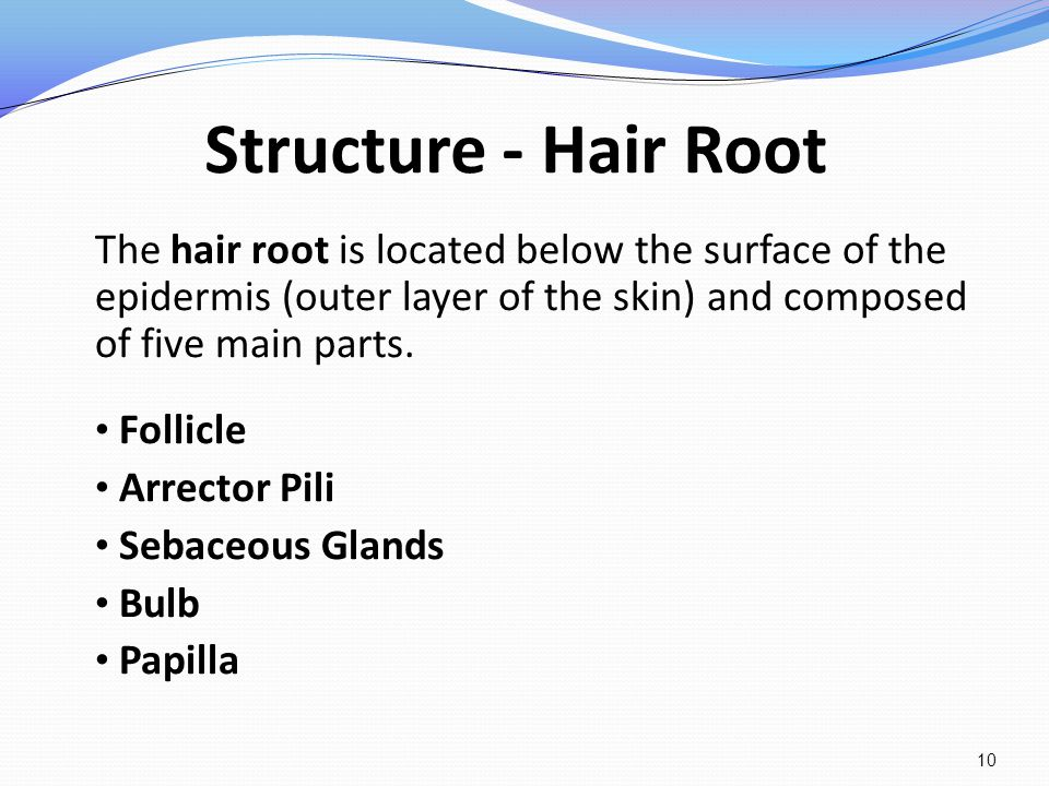 Structure - Hair Root The hair root is located below the surface of the epidermis (outer layer of the skin) and composed of five main parts. Follicle
