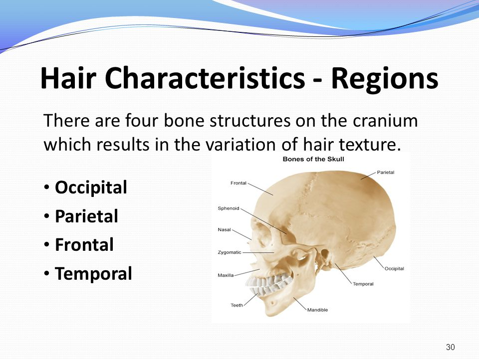 Hair Characteristics - Regions There are four bone structures on the cranium which results in the variation of hair texture. Occipital Parietal Fronta