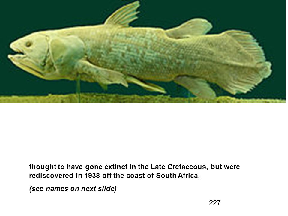 227 thought to have gone extinct in the Late Cretaceous, but were rediscovered in 1938 off the coast of South Africa.