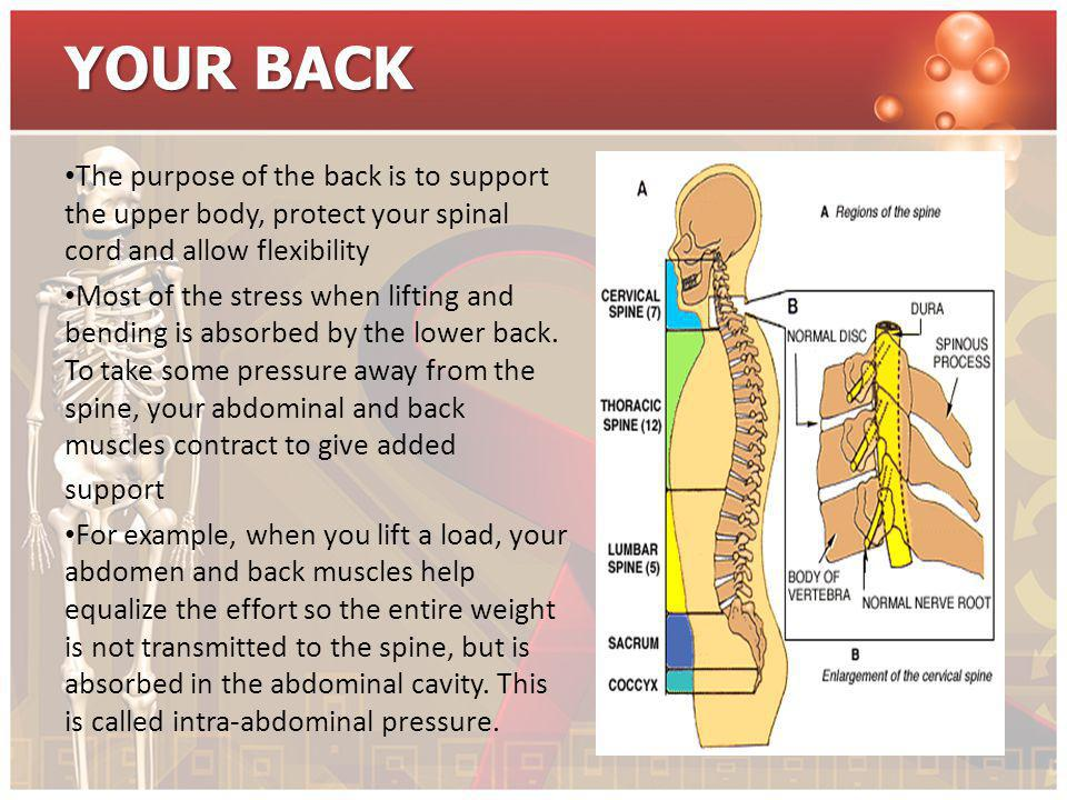 YOUR BACK The purpose of the back is to support the upper body, protect your spinal cord and allow flexibility Most of the stress when lifting and ben